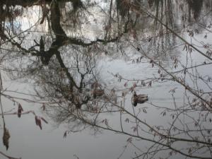 duck on Como Lake