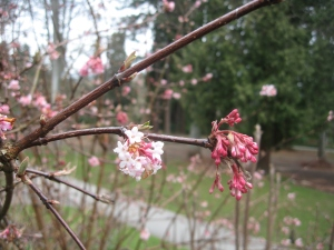 pink buds at Stanley Park