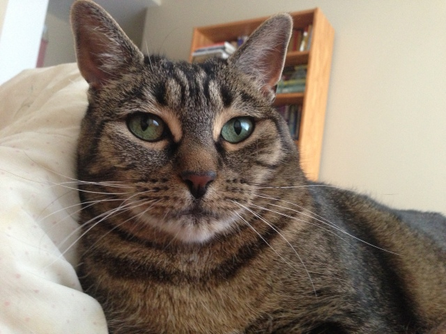 a tabby cat
