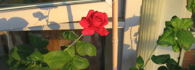 rose in evening sunlight