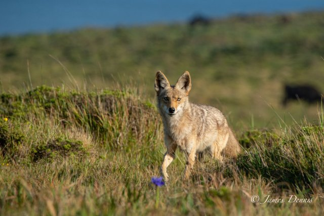 CoyoteStaring